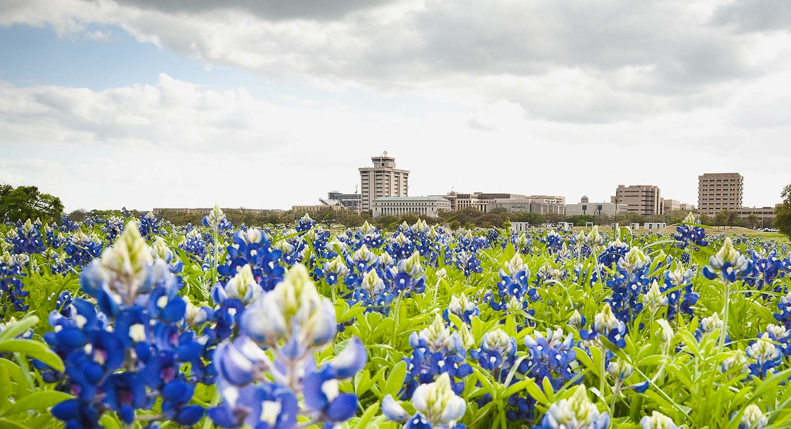 Bluebonnets near the front entrance of Texas A&M's campus